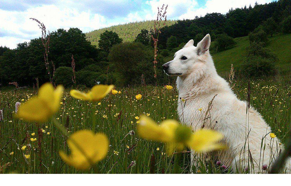 Weiße Schweizer Schäferhunde Corazon