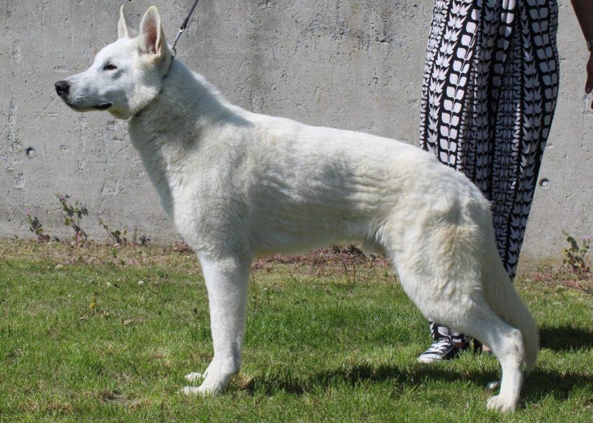 Weiße Schweizer Schäferhunde Gregor von House Savacium